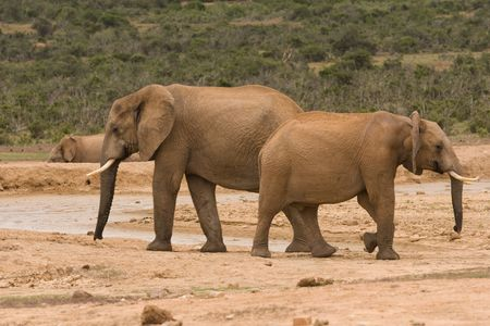 Two elephants at a drinking hole Stock Photo - 6572751