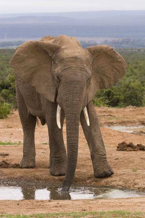 Lone bull elephant at a drinking hole