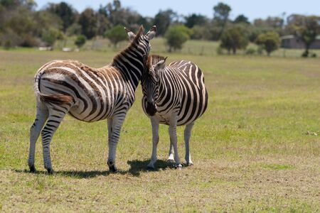 Two zebra interacting with each other in a South African game reserve Stock Photo - 6572752