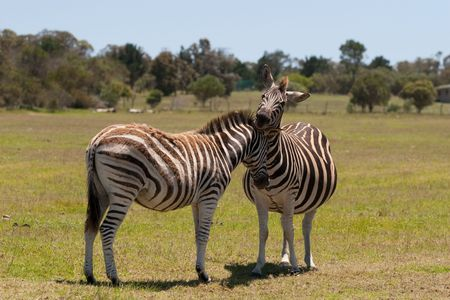 Two zebra interacting with each other in a South African game reserve