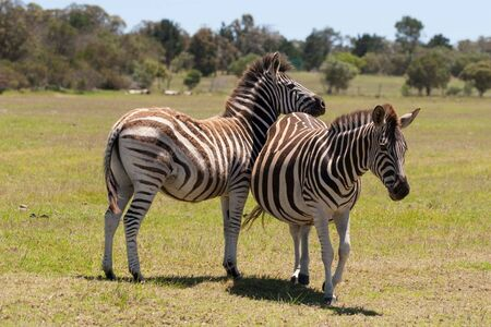 Two zebra interacting with each other in a South African game reserve Stock Photo - 6572754