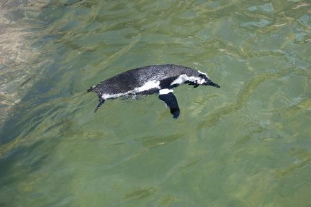 African penguins swimming in clear water Stock Photo - 6572731