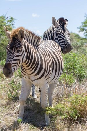 Two zebra standing in the bushes in Addo Elephant National Park, South Africa