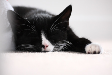 3-month old kitten napping on carpet. Black and white British short-hair moggie. Indoors. Shallow depth of field Standard-Bild
