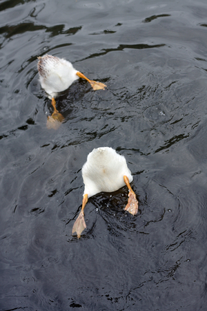 Bottoms up. These two ducks were photographed near the bank of a pond as they dive for food. A wildlife scene in rural Worcestershire, UK