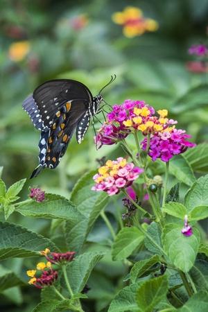 lantana: Spicebush Swallowtail on Lantana