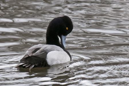 scaup: A single Lesser Scaup drake preening Aythya Affinis Stock Photo