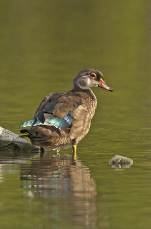 dabbling: Male wood duck in eclipse plumage standing in pond