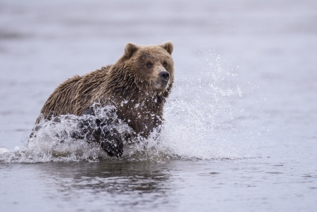 A coastal brown bear chases salmon in a tidal pool at Lake Clark, NP Alaska photo