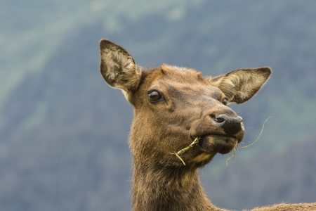 Close-up of a female elk chewing on grass Imagens - 23300213