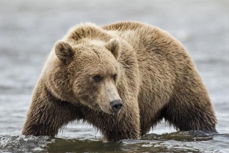A coastal brown bear stalks salmon in a tidal pool at Lake Clark NP, Alaska photo