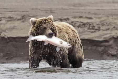 A coastal brown bear holds a freshly caught salmon in its mouth at Lake Clark NP, Alaska