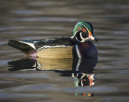 water fowl: A male wood duck in breeding plumage swimming in late afternoon sunlight Stock Photo