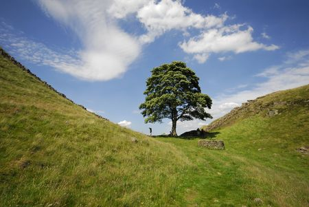 sicomoro: Sycamore Gap