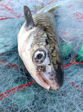 mullet: Mullet fish on fishing net diamond scale mullet fish