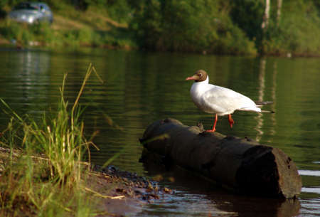 Foto of a gull sitting  on the log on the lake shore photo