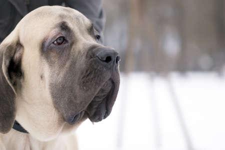 The 6 month puppy of mastiff dog Stock Photo - 2602468
