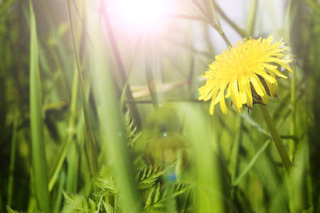 Beautiful dandelion in grass photo