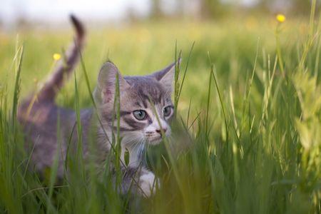 Gatito poco caminando en la hierba