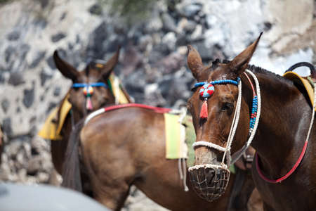 Santorini Donkey - symbol of the island. Santorini, Thira, Greece. Stock Photo - 10865357