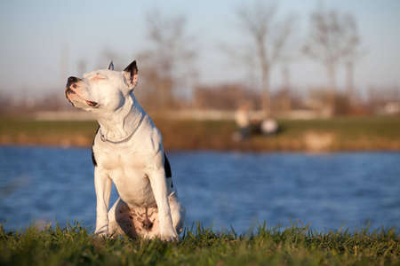 willing: White staffordshire terrier sitting outdoors with closed eyes