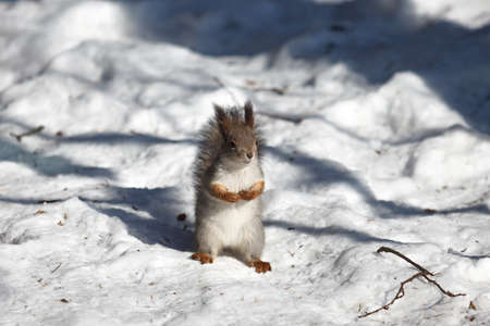 Closeup of red squirrel on the snow photo