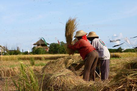 Rice field Stock Photo - 1884729