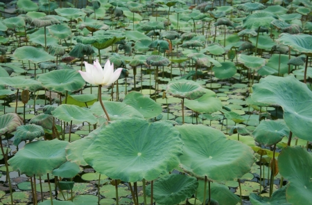 pink water lily flower lotus in the pond photo