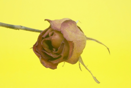 withering: Dead Roses Isolated on yellow Background