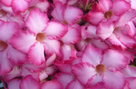 Desert rose, Impala Lily, Azalea for texture photo