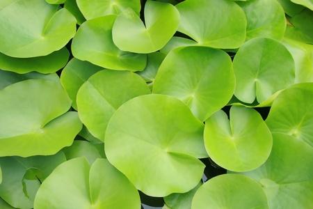 テクスチャの緑の蓮の葉