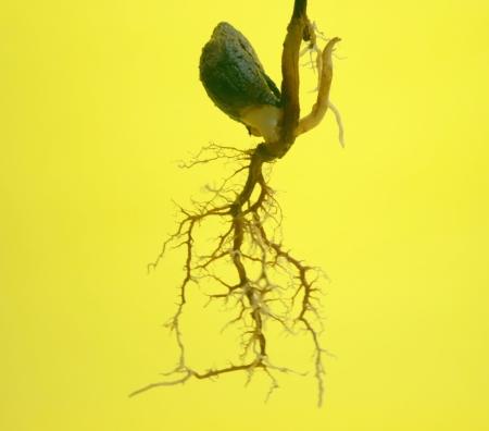 tabroot と分離された繊維状根