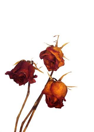 分離した乾燥した赤いバラ