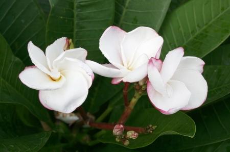 frangipani flower or Leelawadee flower   photo