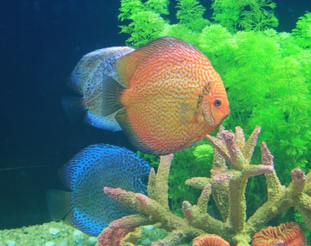 Symphysodon discus in an aquarium photo