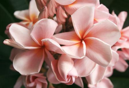 leelawadee: frangipani flower or Leelawadee flower