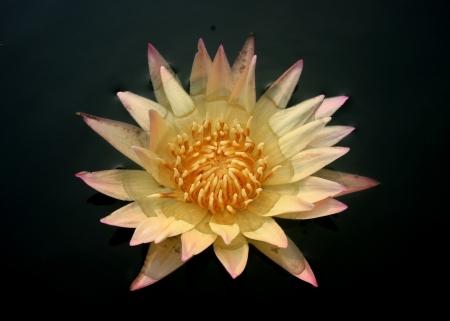 calyxes: Pink Lotus Flower