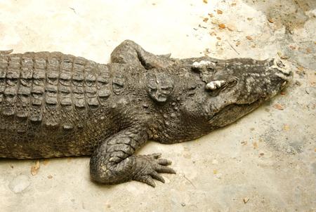 crocodile or alligator in the zoo Stock Photo - 25324792