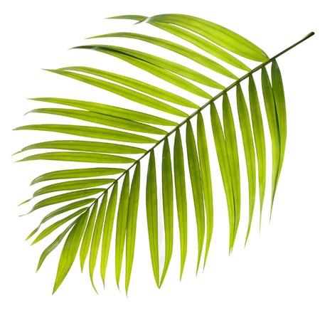 foliage frond: Green leaf of palm tree on white background Stock Photo