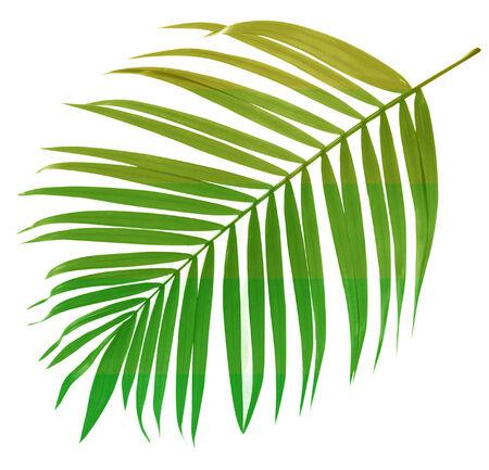 白い背景の上のヤシの木の葉 写真素材