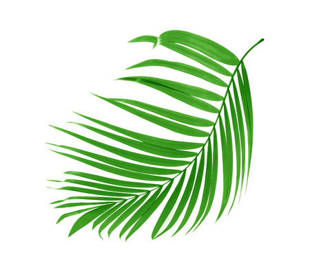 cycadaceae: Green leaf of palm tree on white background Stock Photo