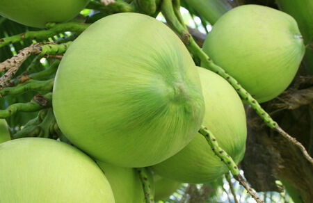Close Up a Bunch of Green Coconut at Tree photo