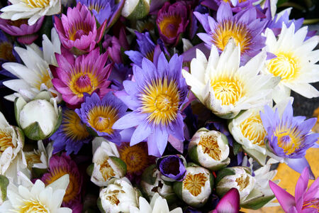 Lotus multicolored many colorful lotus flowers stock photo picture lotus multicolored many colorful lotus flowers stock photo 33190853 mightylinksfo Images