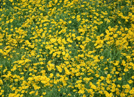 daisys: Field of yellow daisies