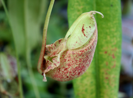 nepenthes: nepenthes with blurred background