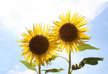 helianthus annuus: Field of sunflowers (Helianthus annuus) Stock Photo