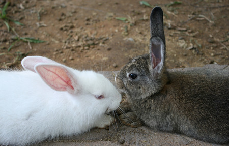 sitting on the ground: White and brown rabbit sitting on ground floor Stock Photo