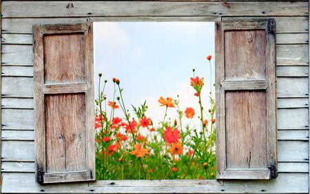 kosmos bloem en oude houten raam Stockfoto