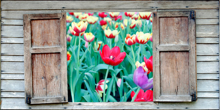 field  of tulips photo