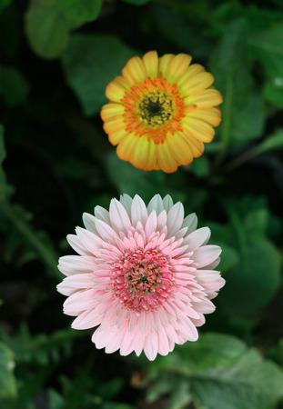compositae: gerbera in garden compositae flower